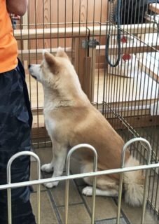 Becoming Familiar with Akita ~ Food, Art, and the Akita Inu